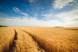 champ de blé doré avec un ciel bleu en arrière-plan photo