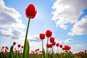 Champ de tulipes rouges sur un ciel bleu photo