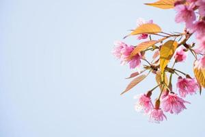 Fleurs de cerisier sauvage de l'Himalaya isolé ciel bleu clair
