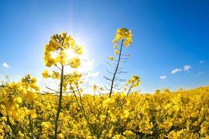 Fleurs de colza sur ciel bleu et soleil photo