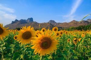 champ de tournesols en fleurs sur fond de ciel bleu