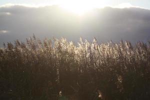 la lumière du soleil brisant sur les roseaux dorés photo