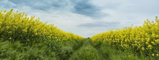 champs de canola au printemps et beau ciel photo
