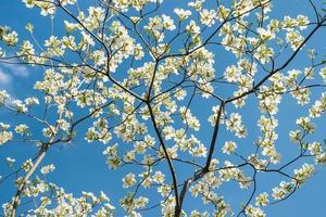 fleurs de cornouiller et ciel bleu photo