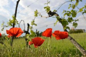 coquelicots rouges sauvages