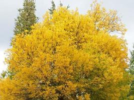 érable automne
