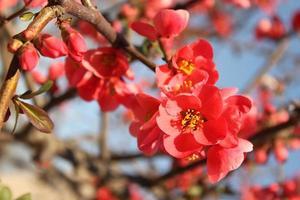 Branche des fleurs de cerisier contre le ciel bleu