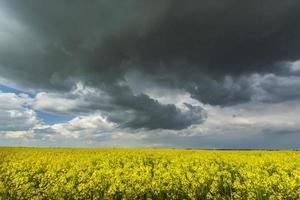 champs de canola au printemps photo