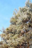 Arbre à feuilles persistantes givré au matin d'hiver ensoleillé sur ciel bleu