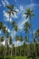 palmiers photo