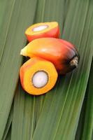 fruit de palmier à huile photo