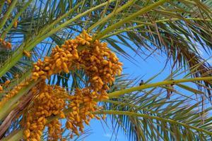 palmier dattier avec dates photo