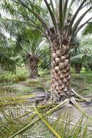 élagage des feuilles de palmier à huile photo