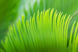 Feuille de cycad vert gros plan au printemps photo