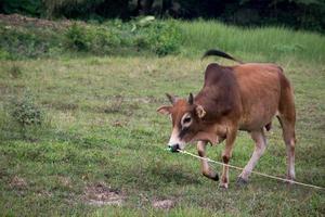 accident de prairie de taureau photo