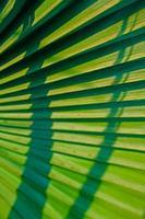 palmier chinois, fontaine-palmier, livistona chinensis