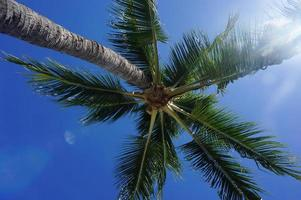 palmier (tahiti) photo