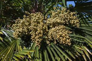 fruits de palmier - frutos del falso palmito photo