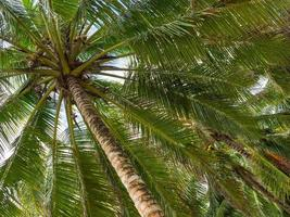 parapluie de cocotier photo