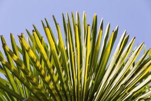 feuilles d'automne d'un palmier - hojas de palmera photo