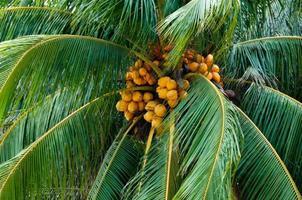 Noix de coco jaunes suspendues dans le palmier vert photo
