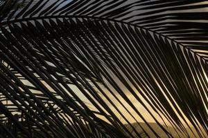silhouette de branche de palmier au coucher du soleil - lignes diagonales photo