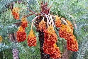 palmier dattier aux fruits mûrs. photo