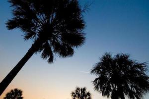 palmiers au crépuscule photo