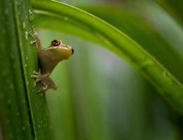 Rainette verte de Floride sur feuille de palmier photo