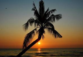 cocotier sur la plage photo