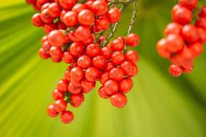 palmier rouge, palmier dattier nain photo
