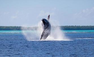 Brèche de baleine à bosse à Tahiti photo