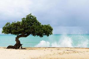 Aruba divi-divi arbre avec mer sauvage photo