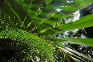 Sri Lanka, Kandy, les feuilles de palmiers