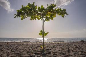 Arbre solitaire sur la plage tropicale de la Dominique photo