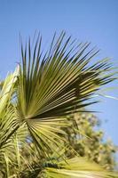 feuille de palmier photo