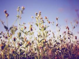 fleurs de prairie sèche et ciel bleu avec effet de filtre rétro