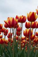 tulipes hollandaises