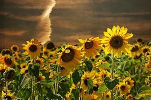 champ de tournesol au coucher du soleil photo