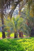 onu. Palm dans le jardin du parc elche, alicante, espagne.