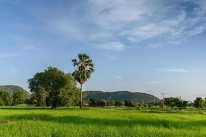 champ de riz avec fond de montagne.