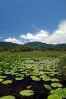 Lily sur l'étang de l'île de samui photo