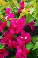 bougainvilliers roses photo