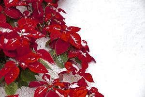 poinsettia rouge de noël avec copyspace