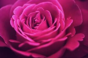 fleur d'une rose photo