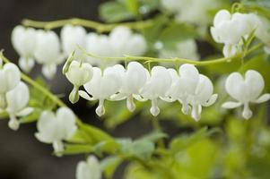 dicentra spectabilis alba photo