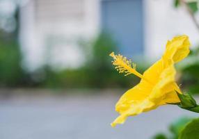 hibiscus jaune photo