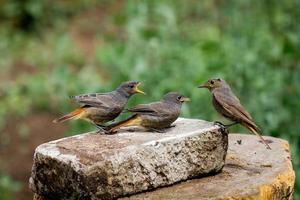 Redstarts noirs - les jeunes font des histoires photo