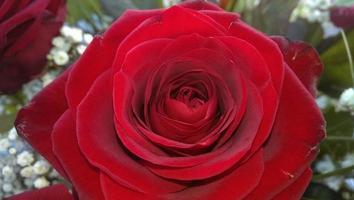 eine rose für die liebe photo