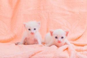 mignons chatons blancs sur une serviette